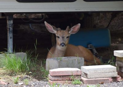 Deer resting in the shade of a Trailer